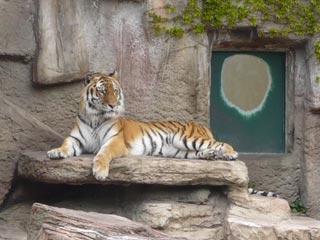 円山動物園 虎