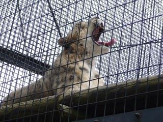 円山動物園 あくび