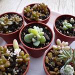 多肉植物ミニ鉢